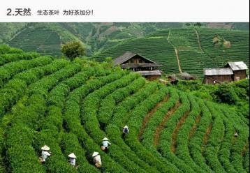 武夷岩茶主要有什么品种?目前主要种植什么品种?
