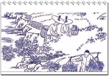 武夷岩茶传统制作工艺图片欣赏|岩茶图片