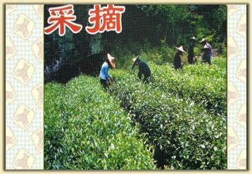 武夷岩茶制作工艺流程图解|岩茶图片