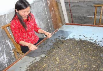 武夷岩茶手工拣剔图片|武夷岩茶制作图片