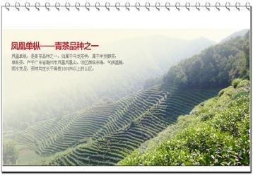 广东乌龙茶种类介绍|乌龙茶有哪些种类