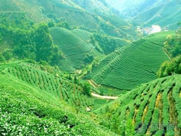凤凰单枞品种|广东乌龙茶凤凰单丛