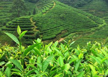 福建安溪秋茶产量预计达1.8万吨|乌龙茶行情