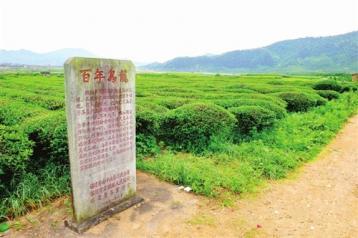 百年乌龙 闽台茶缘|建瓯矮脚乌龙茶