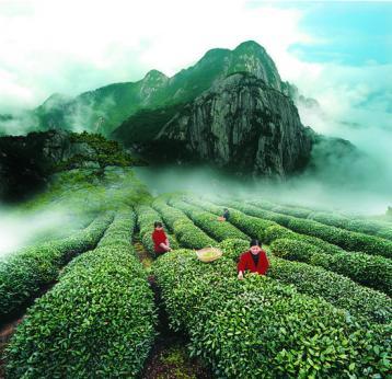 乌龙茶起源武夷山的原由及传播|乌龙茶文化