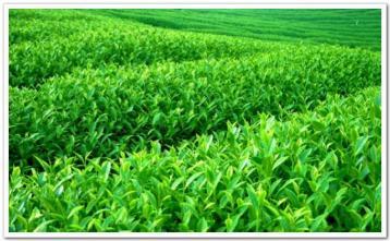 如何识别乌龙茶的优劣|乌龙茶品鉴