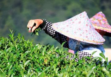 从外形鉴别白芽奇兰茶品质的优劣|乌龙茶品鉴