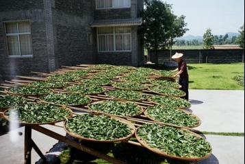 福建乌龙茶加工工艺图解|乌龙茶制作