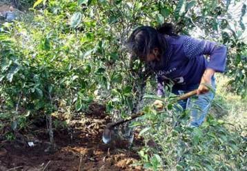临沧市临翔区改造12万亩中低产茶园|普洱茶种植