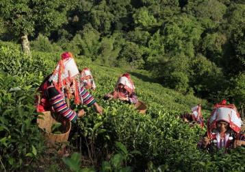 普洱茶产地:勐海县|云南茶区