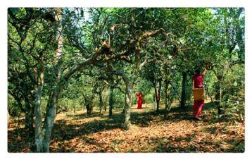 普洱茶产地之景迈古茶山|六大茶山