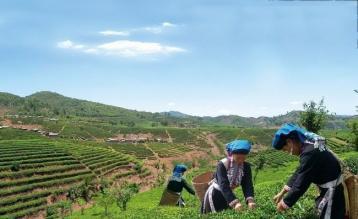 现代普洱茶的产地|普洱茶茶区