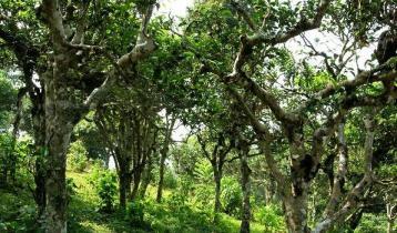 云南普洱古茶树的重要性与文化价值|茶文化