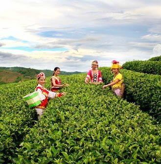 购买普洱茶五要点|普洱茶选购知识