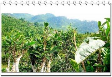 澜沧普洱茶区普洱茶茶树种类|普洱茶茶树种类