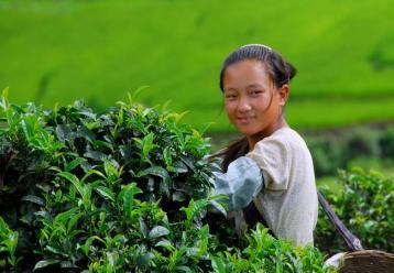 无量山茶园采茶图|茶家寨生态园图片