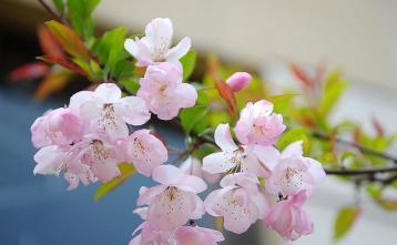 花茶品种:樱花茶|花茶种类
