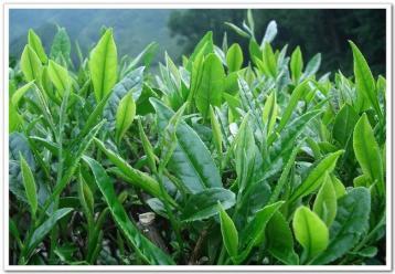 十大名茶的鉴别方法|名茶品鉴