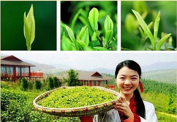 鹿苑毛尖的品质特点|黄茶品鉴