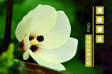 黄秋葵花的功效与作用|黄秋葵花茶的功效