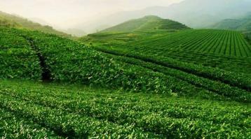 陈年老茶对身体的健康功效|铁观音的功效