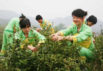 黄茶的种类有哪些|黄茶最主要的三大种类