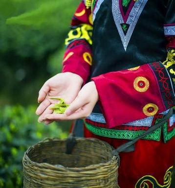 霍山黄大茶的选购|黄茶选购知识