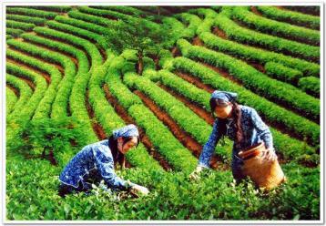 广东大叶青的选购方法|黄茶选购知识