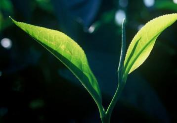 广东大叶青制作工序|黄茶制作工艺