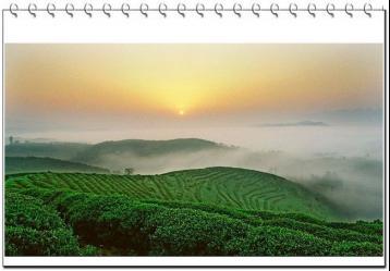 海马宫茶简介|黄茶品种