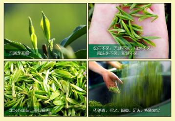 霍山黄芽的采制工艺|黄茶工艺