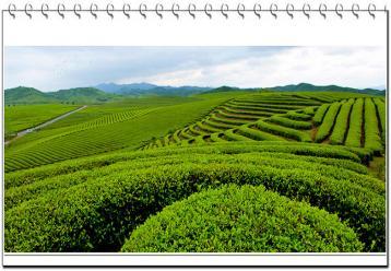 温州黄汤低温贮存法 黄茶保存知识