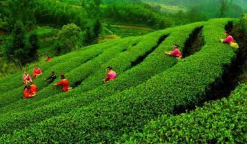 黑砖茶的制作方法和加工工艺|安化黑茶