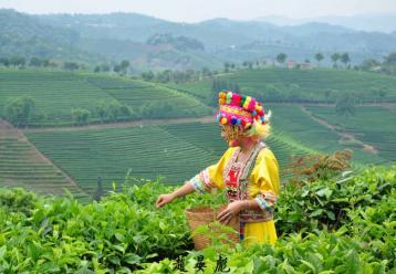 海马宫茶制作工艺|黄茶加工