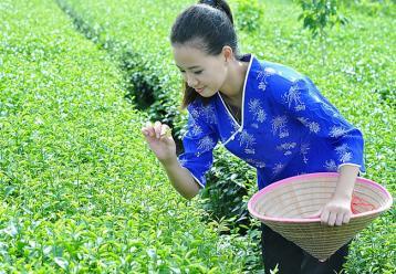 平阳黄汤采制工艺|黄茶制作