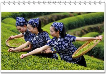 茶叶采摘的三项主要技术环节|茶叶制作工艺