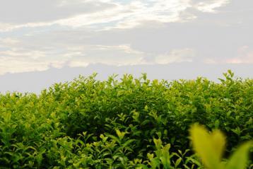 全国茶标委黄茶工作组成立|黄茶资讯