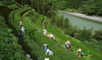 岳阳市供销社力促岳阳黄茶产业发展
