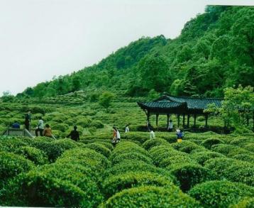黄芽茶:茶话黄茶|黄茶资讯