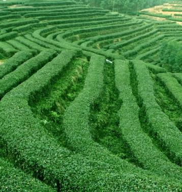 茶园管理技术|有机茶园管理