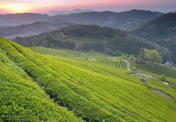 春季茶园管理技术|茶园管理