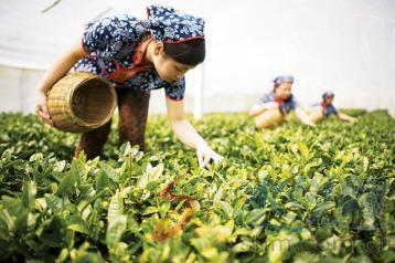 夏秋季茶园管理技术|茶园管理