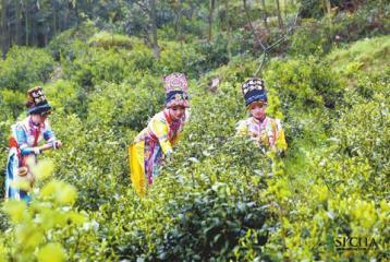 新茶园开发与幼龄茶园管理技术|茶园管理
