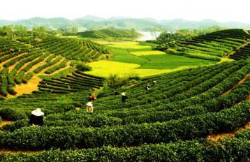 新茶园建设方案|茶园管理技术