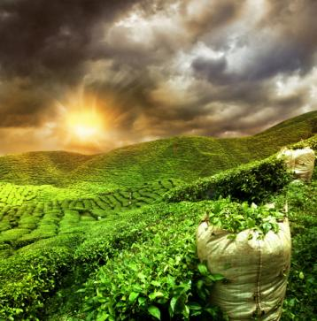无公害茶叶种植管理技术|茶树种植