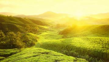 云南茶叶种植病虫害防治的研究|茶叶病虫害
