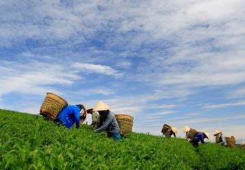 茶树栽培的需要的三个条件