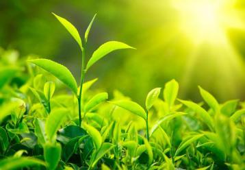 沼液喷灌技术在茶叶种植上的应用