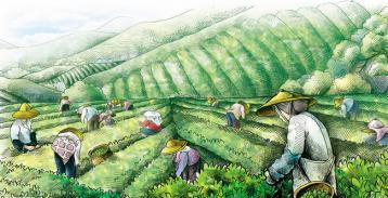 茶叶种植步骤