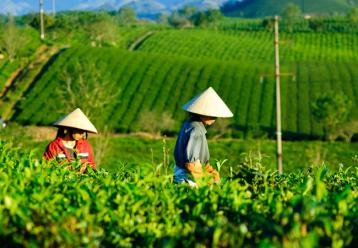 北方茶树无性繁殖技术|茶树种植